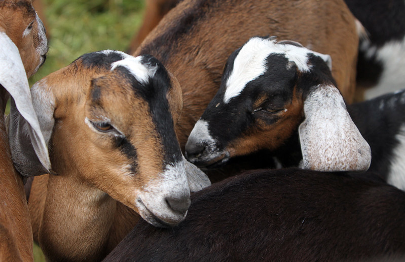 Opening of Indian Valley Goats Dairy at Krochmal Farms in Tewksbury. Nubian goat calves. (SUN/Julia Malakie)