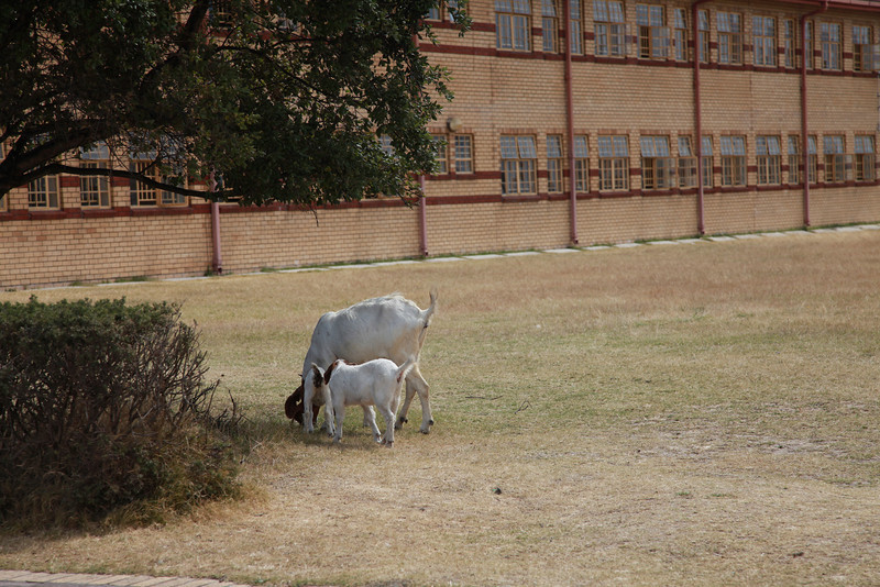 A boergoat doe and her kid grazing on the schoolgrounds of a township school, Western Cape, South Africa