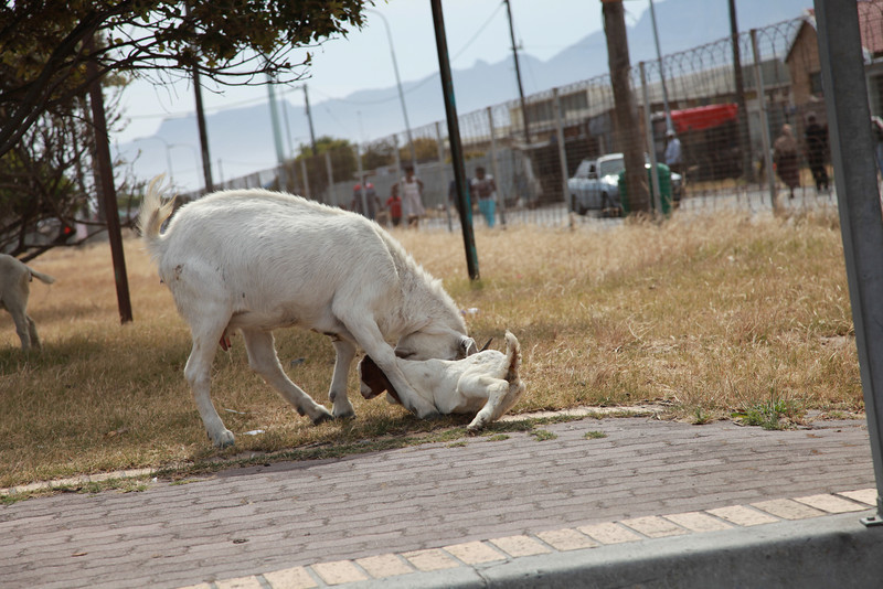 A boergoat doe and her kid in a township in the Western Cape, South Africa