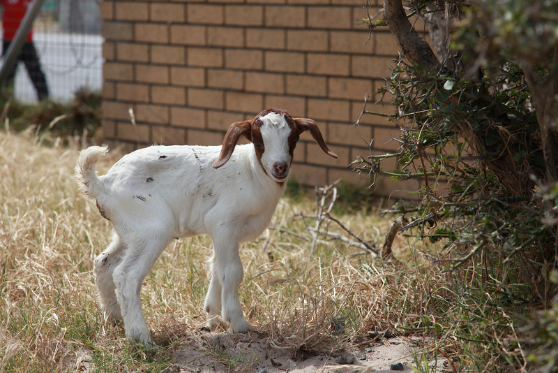 A boergoat kid in a township in the Western Cape, South Africa