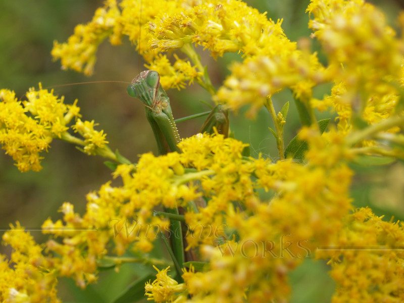Praying Mantis in Goldenrod; September, Quakertown PA (crop of previous)