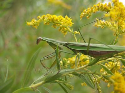 Praying Mantis (pregnant?) in Goldenrod; September, Quakertown PA