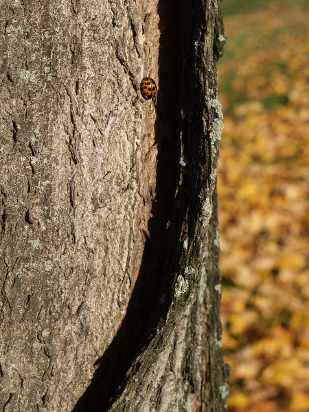 Ladybug on tree in Center Valley