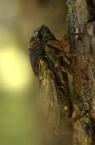 17-yr locust (Cicada?) on our magnolia tree  -  08/04/2011