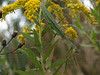 Praying Mantis in Goldenrod; September, Quakertown PA