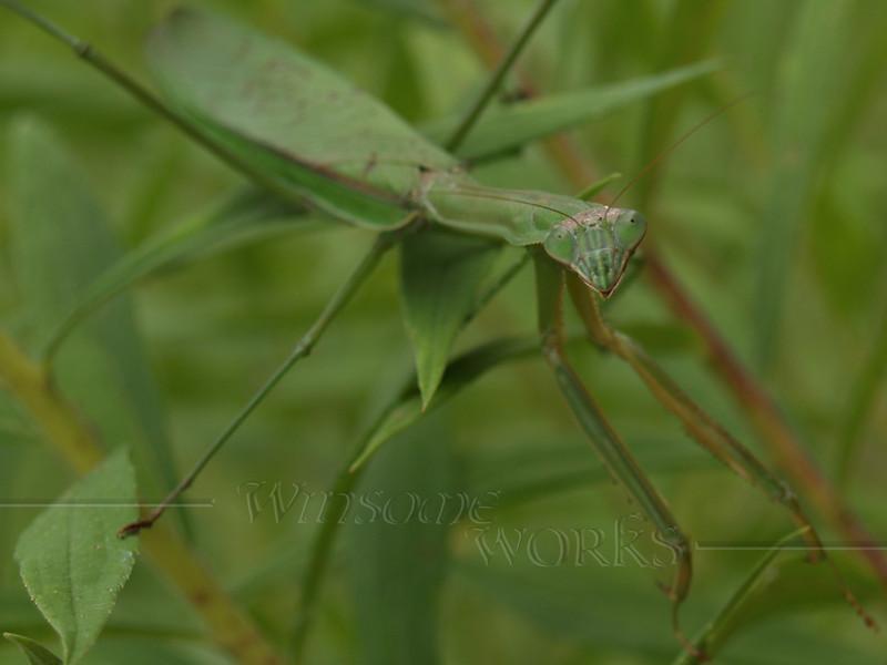 Preying Mantis in September; Quakertown, PA (crop of last photo) Praying Mantis in Goldenrod; September, Quakertown PA