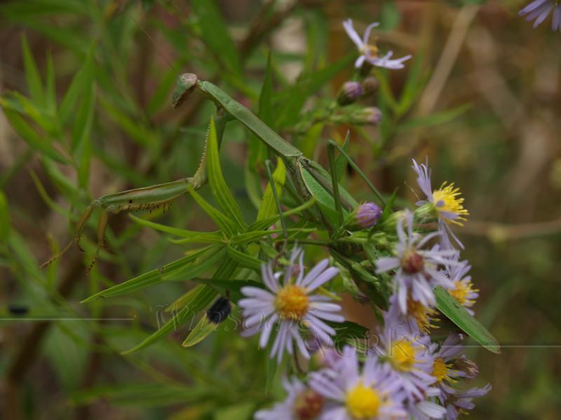 Praying Mantis in Asters; September, Quakertown PA