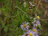 Praying Mantis in Asters; September, Quakertown PA