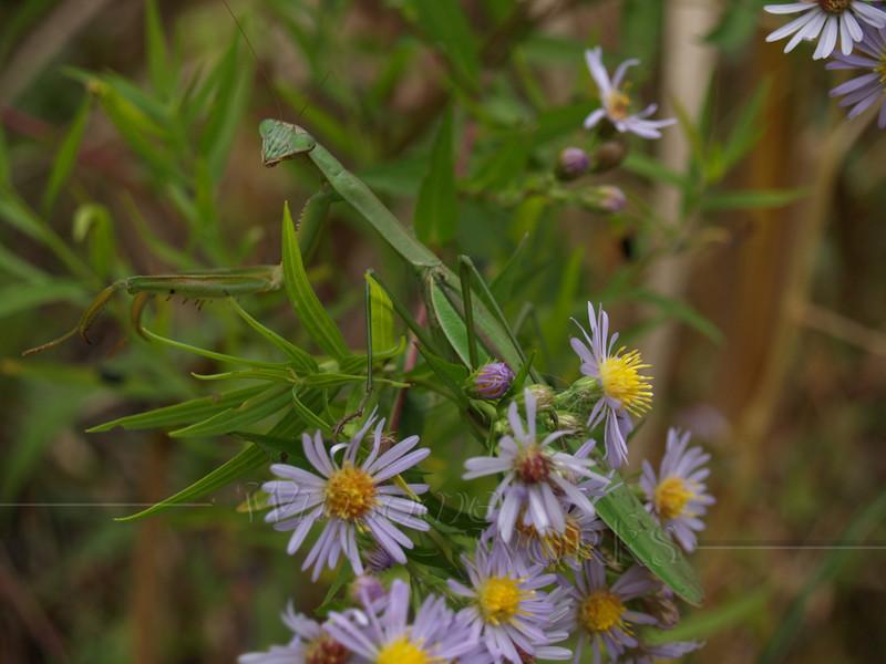 Preying Mantis in Asters; September, Quakertown, PA