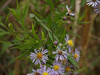Preying Mantis in Asters; September, Quakertown, PA