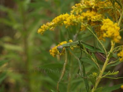 Praying Mantis in Goldenrod; September, Quakertown PA