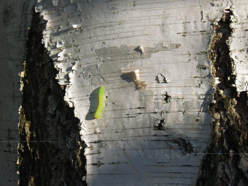 Inchworm, or Geometrid caterpillar (genus Geometra) on white birch tree (Betula papyrifera)