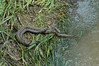 Water snakes mating