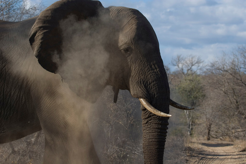 African elephant dust bath