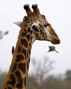 Giraffe with attendants