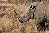 White rhino - not endangered (yet)