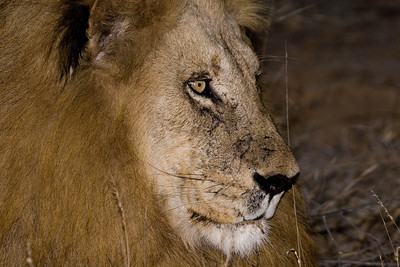 Timbavati male