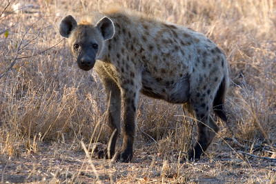 Spotted hyena - strongest jaws in the animal kindgom