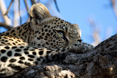 Leopard resting in tree