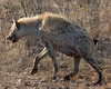 Spotted hyena on the move