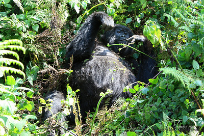 After almost 2 hours our first Mountain Gorilla sighting, a member of Group-13, Volcanoes Nat. Pk. Rwanda, 1/1/4/09