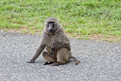 Olive Baboon a Cheek-pouch Monkey