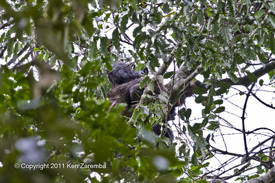 Chimpanzee, Kibale National Park