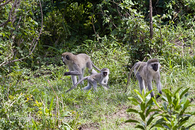 Black-faced Vervet Monkeys