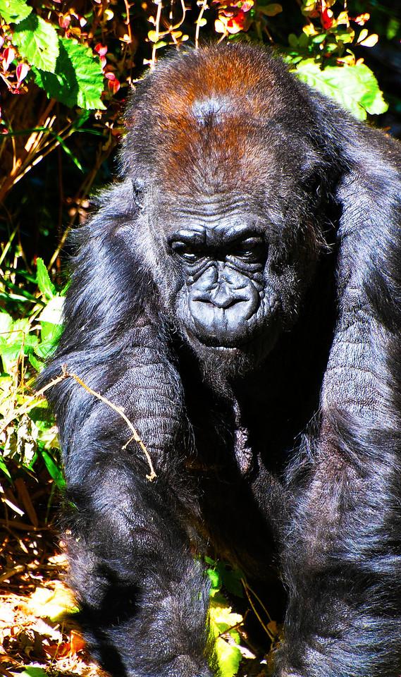 Western Lowland Gorilla,