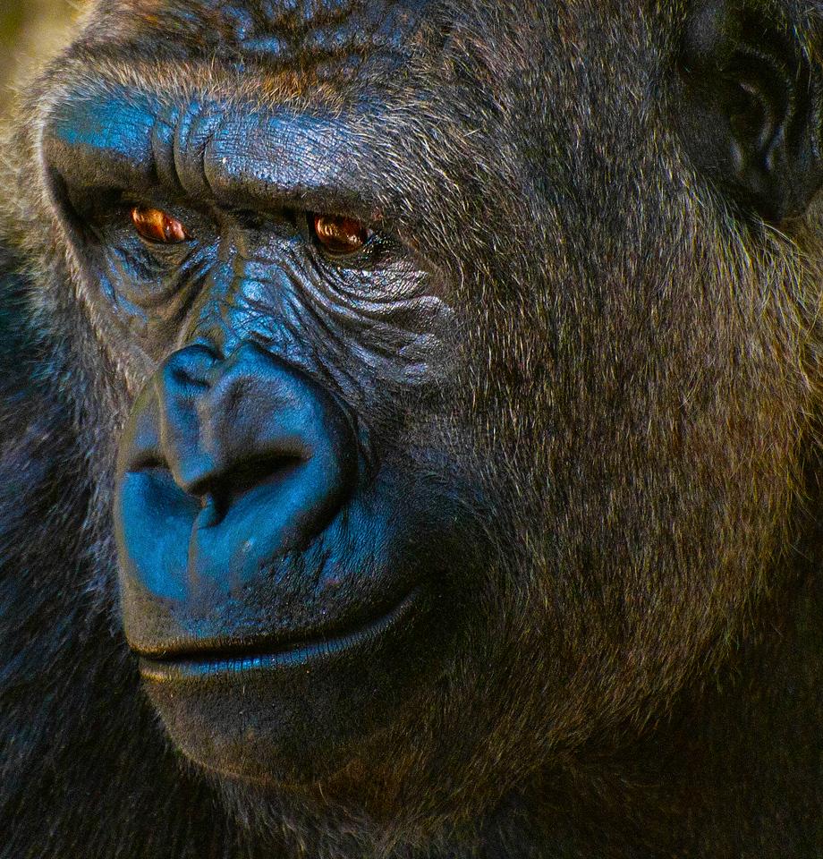Female Western Lowland Gorilla 'Pete'