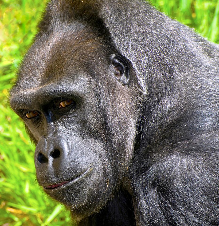 Female Western Lowland Gorilla