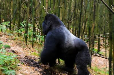 Gorillas PART ONE