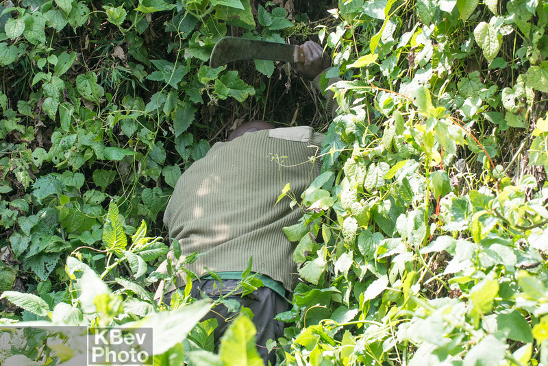 Literally hacking through the jungle to get to the gorillas