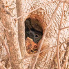 Gray Squirrel hiding in a Tree