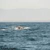 Gray Whale tail fluke