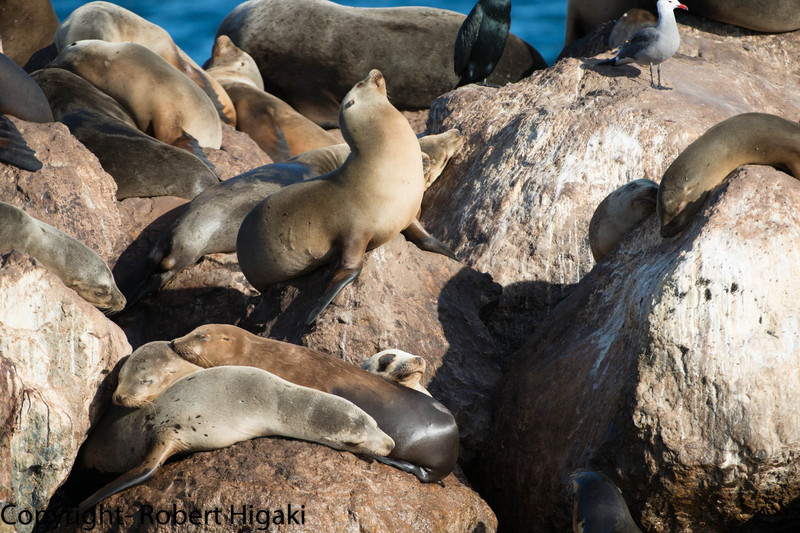 California Sea lions on the breakwater.