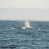 Gray Whales;<br /> unknown scarring????