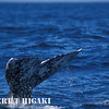 graywhales-4