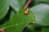 Mr Ladybug Cropped, a rarity among my photos