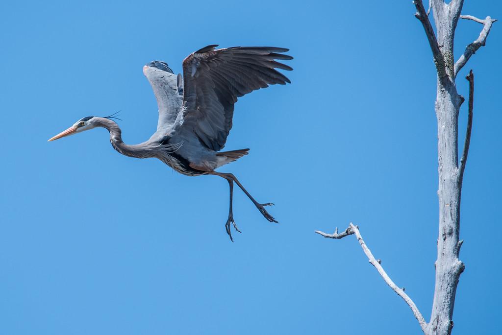 """HERON 4738<br /> <br /> """"Graceful Great Blue Heron"""""""