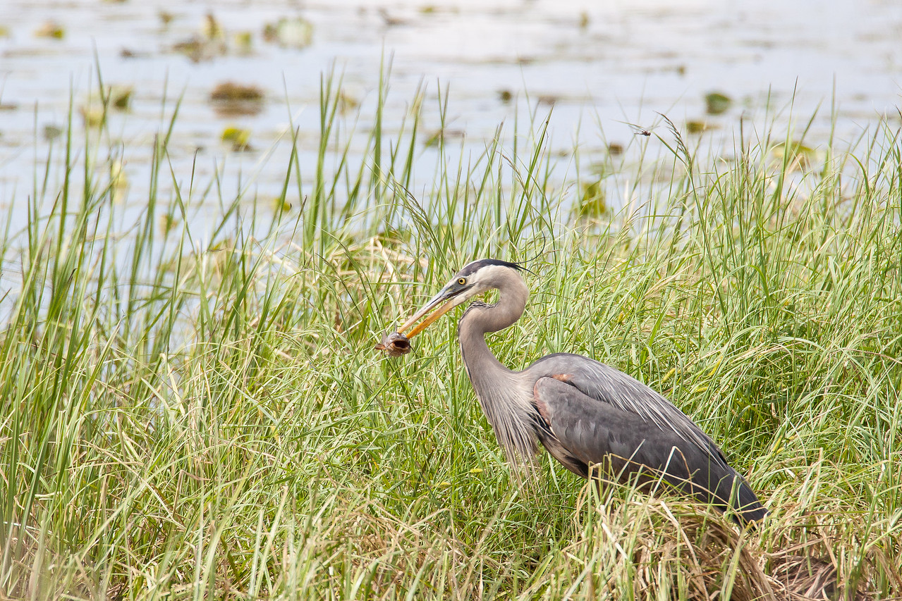 "ANIMALS BY AIR 7755<br /> <br /> ""Heron with fish at Crex Meadows""<br /> <br /> Crex Meadows Wildlife Area - Grantsburg, Wisconsin"