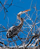 A great blue heron trying to break off a branch to take back to use in building its nest.  I always imagined they used branches that had fallen off, but they go after live branches on the tree.