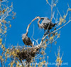 The male great blue heron give his mate the branch he has brought for their nest; best viewed in the largest sizes