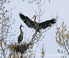 A male great blue heron brings a branch for the nest to his mate; best viewed in the largest sizes.