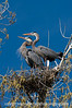 A great blue heron pair checking out the neighbor's nest; best viewed in the largest size.