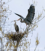 The male great blue heron is passing to his mate the twig he's just brought to the nest.