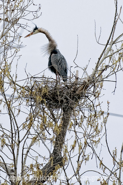 A female great blue heron sees her mate approaching; I watched this nest for many hours and everytime she saw her mate approaching (even before I could see him), she would assume this posture and her neck feathers would flare around her.  Best viewed in the largest sizes.