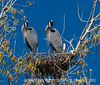 Two great blue herons on their nest grooming their feathers in unison; best viewed in the largest size