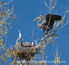 A male great blue heron is just returning to the nest with a branch; best viewed in the largest sizes