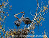 A male great blue heron has just returned to the nest with a branch, which he is presenting to his mate.  This image is best viewed in the largest size.